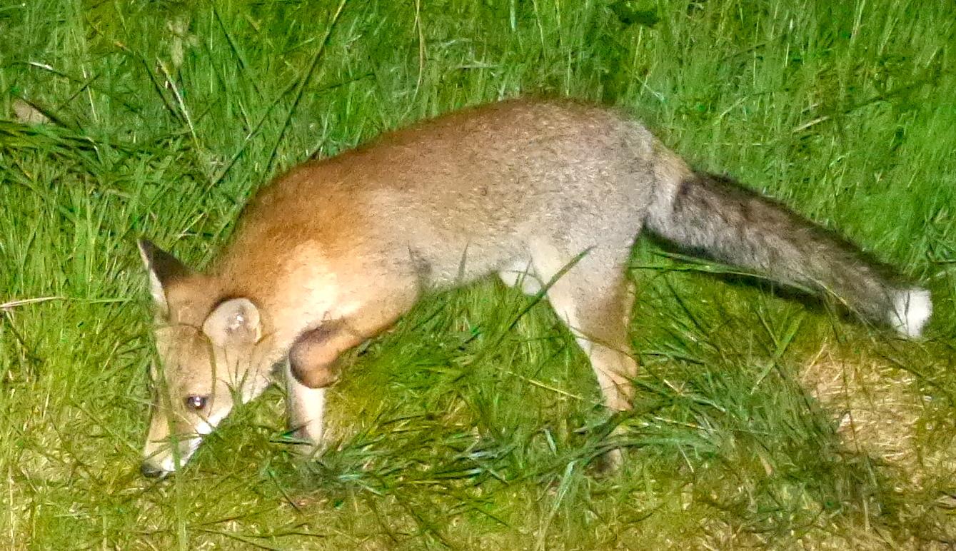 Photo d'un renard dans la prairie